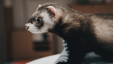 ferret passport uk cost