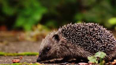 airlines that allow hedgehogs on planes