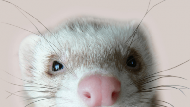 flying with ferret guide