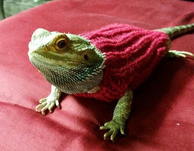 lizard in jumper