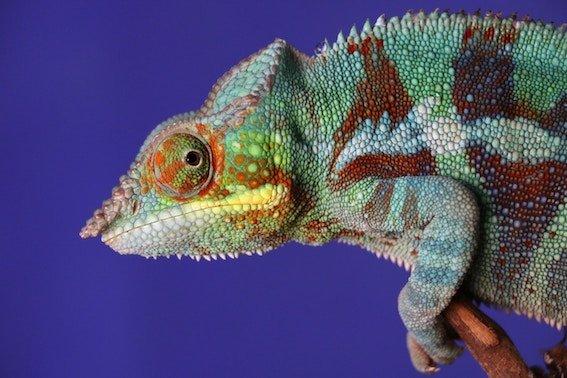 keep lizard warm during travel