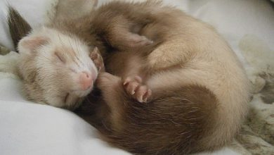 Photo of Which Airlines Allow Ferrets In Cabin? [2020 Policies & Prices]
