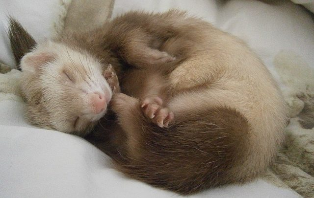 airlines that allow ferrets in cabin