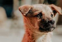 dog passport thailand
