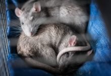 keeping rats calm while travelling