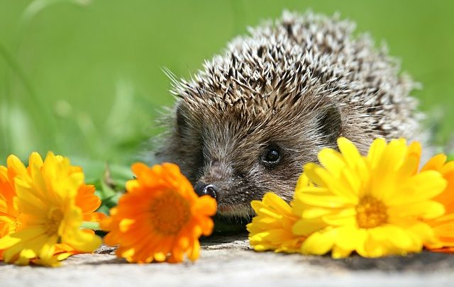 transporting hedgehog in cars