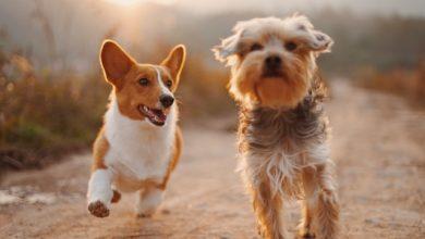 Photo of Dog Sedatives for Flying: Should I use them?